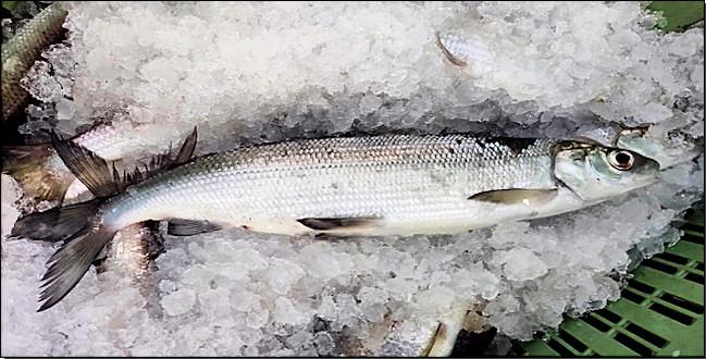 Abbildung 3: Im Freiwasser des Obersees gefischter Felchen. Bildquelle: CVUA Freiburg