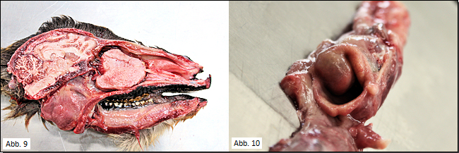 Tumor Nasenhöhle (links), Kehlopfschwellung (rechts)